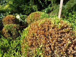Objawy zamierania pędów i liści