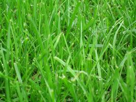 Pierwsze koszenie wykonujemy, gdy trawa się zazieleni i nieco podrośnie