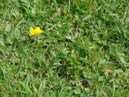 Na takie zachwaszczone trawniki pomoże herbicyd selektywny (zwalcza rośliny dwuliścienne w trawniku)