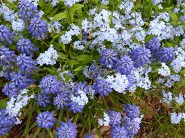 Dwa kolory - niebieski. Szafirki i niezapominajki