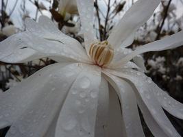 Dzięki śnieżnej bieli kwiatów magnolia robi duże wrażenie w ogrodzie i widać ją z daleka