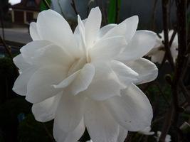 Pełne kwiaty magnolii