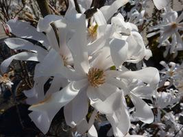 Ta magnolia należy do najwcześniej kwitnących, ponieważ zakwita już w kwietniu