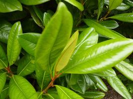 Błyszczące liście magnolii wielkokwiatowej podobne są do liści fikusa