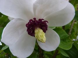 Wnętrze kwiatu magnolii Siebolda