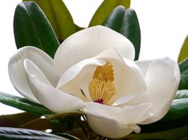 Kwiat magnolii wielkokwiatowej (M. grandiflora)  o zimozielonych liściach