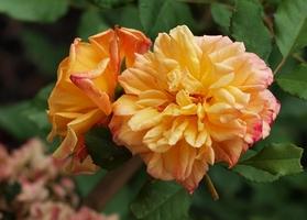 """Rosa """"Aloha"""" ze szkółki Kordesa - climber, fot. Anna Ścigaj"""