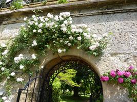 Róże pnące prowadzone na murze przy pomocy poziomych drutów, fot. Danuta Młoźniak