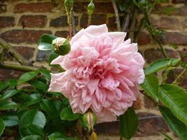 """Rosa """"Paul Transon"""" - rambler, fot. Danuta Młoźniak"""