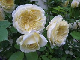 "Rosa ""Pilgrim"" - climber, fot. Danuta Młoźniak"