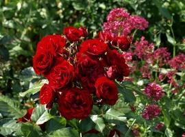 Czerwone róże i różowy ostrogowiec, fot. Anna Ścigaj