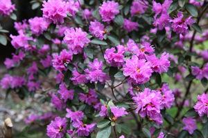 Te piękne krzewy liściaste mają ozdobne, dzwonkowate kwiaty w kolorze różowym, fioletowym, pomarańczowym, żółtym, białym, czerwonym oraz ciemnozielone, skórzaste liście