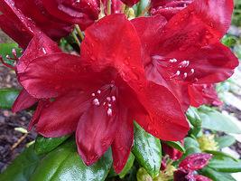 """Rhododendron """"Francesca"""" to krzew o średnio silnym wzroście i kulistym pokroju oraz ciemnoczerwonych kwiatach z białymi pręcikami"""