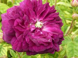 """Róża """"Cardinal de Richelieu"""" pochodzi z 1840 r. Jej kwiaty są zaokrąglone, w pełni podwójne, pachnące, w głęboko bordowo-fioletowym kolorze, fot. Danuta Młoźniak"""