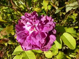 """""""Indigo"""" - róża damasceńsko-portlandzka z 1830 roku, kolor kwiatów fioletowy, powtarza kwitnienie, fot. Danuta Młoźniak"""
