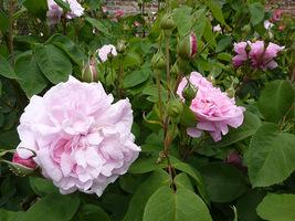"Inne ujęcie Rosa centifolia ""Fantin Latour"", fot. Danuta Młoźniak"