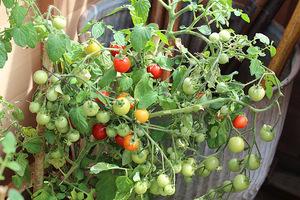 Pomidorki koktajlowe smakują najlepiej z własnej uprawy