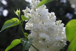 Wiosną wydają masę kwiatów, które ukazują się na krzewach od maja aż do późnej wiosny