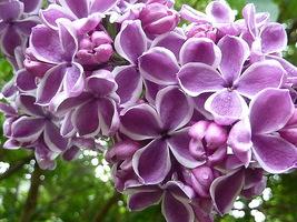 """Odmiana """"Sensation"""" charakteryzuje się przepięknymi, oryginalnie ubarwionymi kwiatami"""