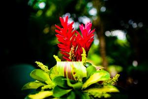 Vriesea należy do rodziny Bromeliaceae (ananasowate) i ma liście ułożone w rozetę, jest epifitem, fot. Dmitri Markine