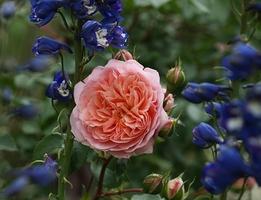 Ostróżki - mój ulubiony akcent w ogrodzie różanym, fot. Anna Ścigaj