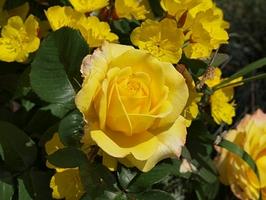 "Wiesiołki z różą ""Yellow Garnish"", fot. Anna Ścigaj"