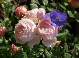 Z niebieskim każdej róży do twarzy, fot. Anna Ścigaj