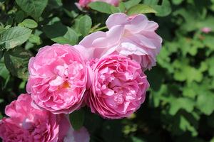"""Róże widać w tym ogrodzie wszędzie (odmiana """"Mary Rose"""")"""