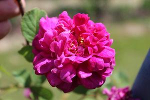 Przeważają historyczne odmiany róż