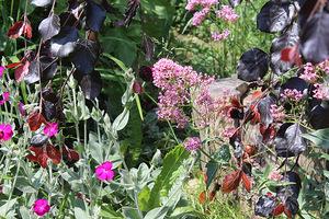 Subtelna tonacja: bordowy buk, delikatnie różowy ostrogowiec, mocna firletka i bladoróżowa róża zwisająca z murku