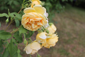W czerwcu rozpoczyna się spektakl róż
