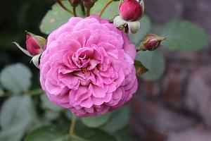 """Róża w kolorze """"brudnego"""" różu"""