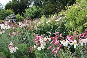 Lilie królewskie i wiciokrzew (pnącze) przyćmiły urodę róż, fot. Danuta Młoźniak