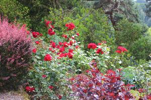 Czerwone róże z purpurowym berberysem i perukowcem, fot. Danuta Młoźniak