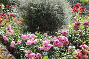 Róże i srebrnolistna wierzba przycięta w kulę, fot. Danuta Młoźniak