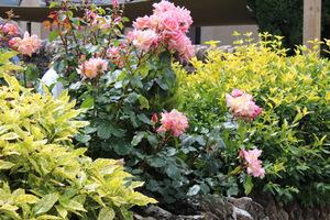 Róże z krzewami o żółtych liściach (aukuba i ligustr), fot. Danuta Młoźniak