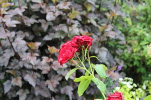 Czerwona róża na tle purpurowych liści pęcherznicy, fot. Danuta Młoźniak