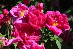 Rosa gallica 'Officinalis', zwana różą aptekarzy
