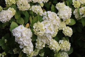 W czerwcu obficie kwitły hortensje ogrodowe