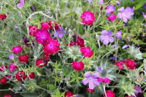 Różowe firletki kwieciste i niebieskie bodziszki