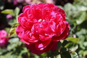 Róże mają wielu miłośników