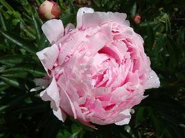Peonia o kwiatach pełnych