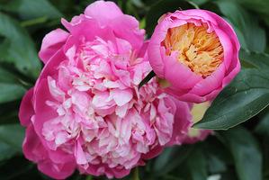 "Paeonia lactiflora ""Bowl of Beauty"""