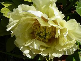 """Paeonia suffruticosa """"Yellow Heaven"""""""