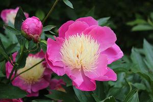 """Paeonia """"Raspberry Sundae"""""""