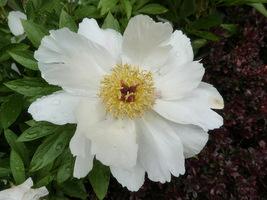 Ciekawy kwiat peonii