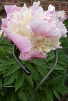 Podpórka dla ciężkich kwiatów peonii