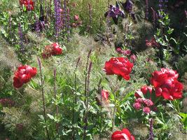 Peonie w towarzystwie delikatnych bylin w stonowanych kolorach (fenkuły, szałwie i jarzmianki)