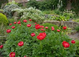 Paeonia peregrina w ogrodzie skalnym