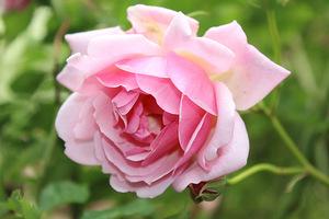 Wade mawiał, że ogród różany bardziej słychać niż widać
